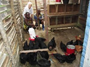 Kisangani allevamento polli